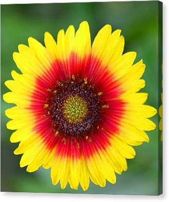 Wild Flower Canvas Print by Jeanne Andrews