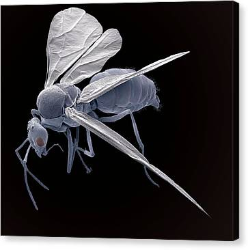 Winged Ant, Sem Canvas Print by Steve Gschmeissner