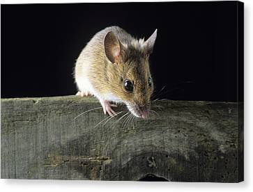 Wood Mouse Canvas Print