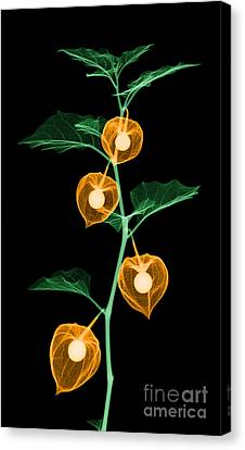 X-ray Of Chinese Lantern Plant Canvas Print by Ted Kinsman