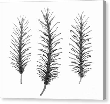 X-ray Of Pine Cones Canvas Print by Ted Kinsman