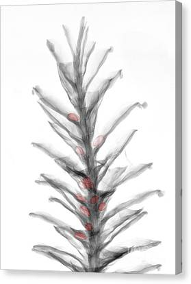 X-ray Of Pinecone With Seeds Canvas Print by Ted Kinsman
