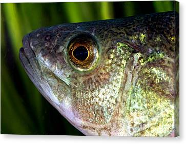 Yellow Perch Perca Flavescens Canvas Print by Ted Kinsman
