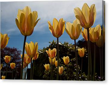 2012 Tulips 06 Canvas Print by Robert  Torkomian