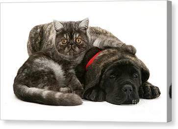 Mastiff Pups Canvas Print - Kitten And Puppy by Jane Burton