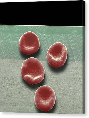 Red Blood Cells, Sem Canvas Print by Steve Gschmeissner