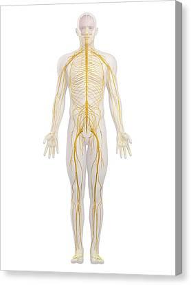 Human Nervous System, Artwork Canvas Print
