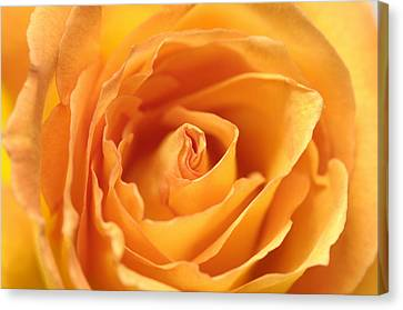 A Peach-colored Rose Rosaceae Canvas Print by Joel Sartore