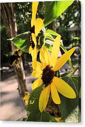 Bee And Sunflower  Canvas Print by Jon Baldwin  Art