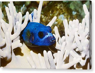 Blackspotted Puffer Canvas Print by Georgette Douwma