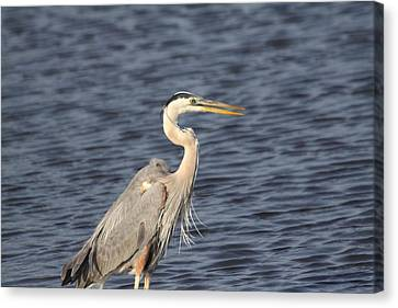 Blue Heron Canvas Print by Jeanne Andrews