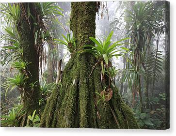 Bromeliad Bromeliaceae And Tree Fern Canvas Print