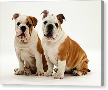 Bulldog Pups Canvas Print by Jane Burton