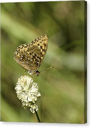 Canvas Print featuring the photograph Butterfly by Betty Depee