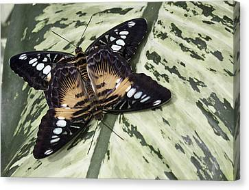 Butterfly Canvas Print by Nick Mares