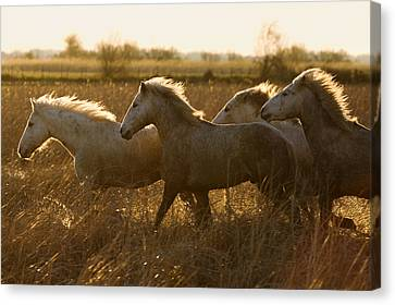 Camargue Horse Equus Caballus Group Canvas Print by Konrad Wothe