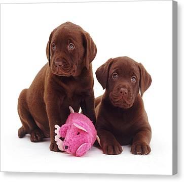 Chocolate Labrador Retriever Puppies Canvas Print