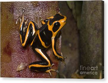 Bromeliad Canvas Print - Crowned Poison Frog by Dante Fenolio