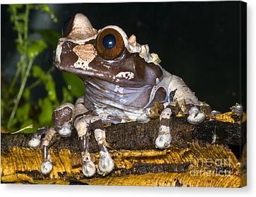 Bromeliad Canvas Print - Crowned Tree Frog by Dante Fenolio