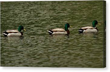 Canvas Print featuring the photograph 3 Ducks by Josef Pittner