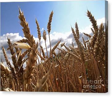 Field Of Wheat Canvas Print by Bernard Jaubert