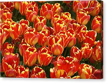 Flaming Tulips Canvas Print by Michele Burgess