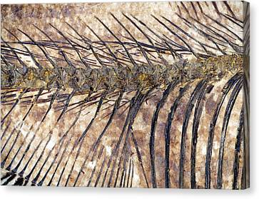 Fossilised Fish Canvas Print by Lawrence Lawry