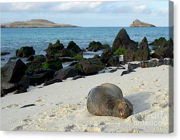 Galapagos Sea Lion Sleeping On Beach Canvas Print by Sami Sarkis