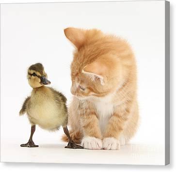 Ginger Kitten And Mallard Duckling Canvas Print
