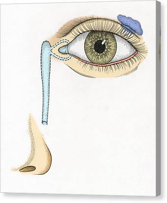 Illustration Of Tear Duct Canvas Print by Science Source