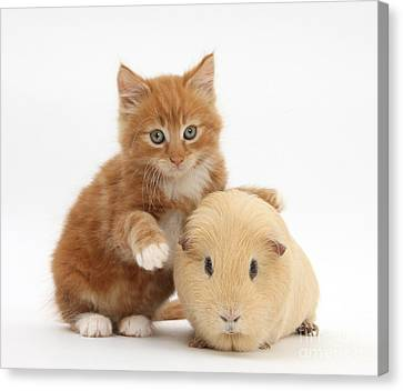 Kitten And Guinea Pig Canvas Print by Mark Taylor