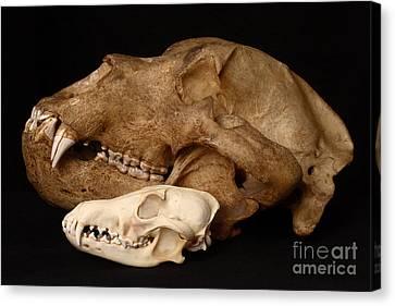 Kodiak Bear Skull With Coyote Skull Canvas Print by Ted Kinsman
