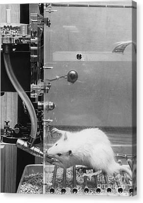 Lab Rat Canvas Print