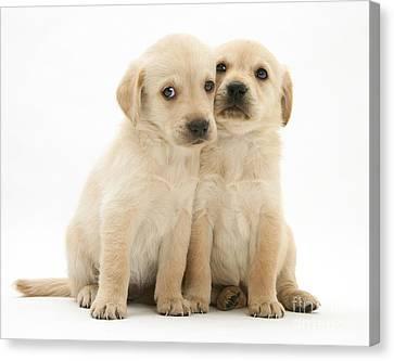 Labrador Retriever Puppies Canvas Print by Jane Burton