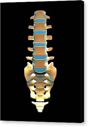 Lumbar Spine And Sacrum, Computer Artwork Canvas Print by Pasieka