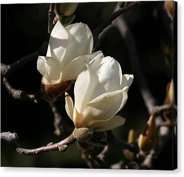 Magnolia World Of Beauty Canvas Print by Valia Bradshaw