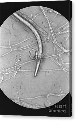 Nematode Snared By Predatory Fungus Lm Canvas Print by Photo Researchers, Inc.