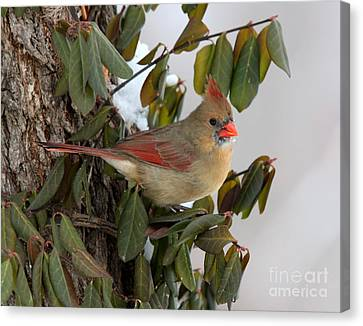 Canvas Print featuring the photograph Northern Cardinal by Jack R Brock