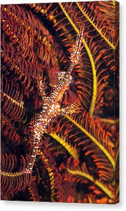 Ornate Ghost Pipefish Canvas Print by Georgette Douwma
