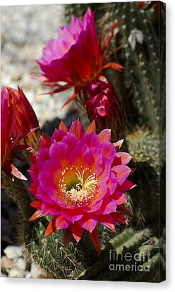Pink Cactus Flowers Canvas Print by Jim and Emily Bush