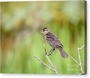 Canvas Print featuring the photograph Red-winged Blackbird by Jack R Brock