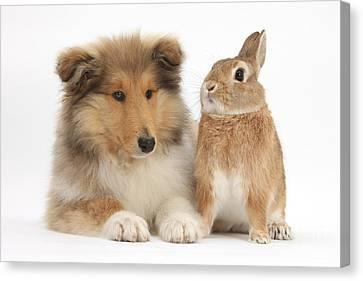 Rough Collie Pup With Rabbit Canvas Print by Mark Taylor