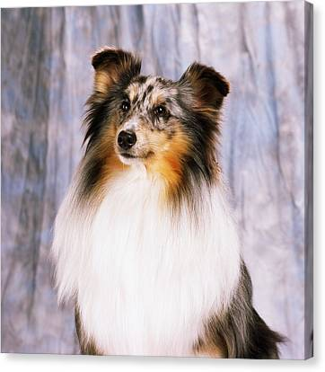 Shetland Sheepdog Portrait Of A Dog Canvas Print by The Irish Image Collection