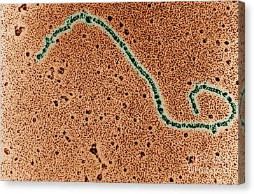 Single Strand Of Dna Canvas Print by Science Source