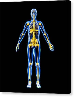 Skeleton And Ligaments, Artwork Canvas Print by Roger Harris