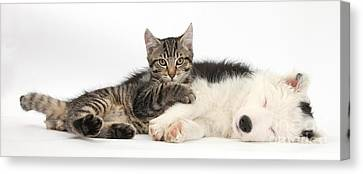 Tabby Kitten & Border Collie Canvas Print by Mark Taylor