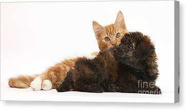 Toy Poodle Puppy With Kitten Canvas Print by Mark Taylor