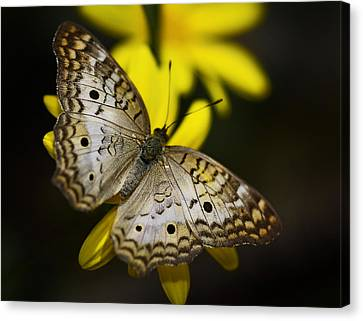 White Peacock Butterfly  Canvas Print by Saija  Lehtonen