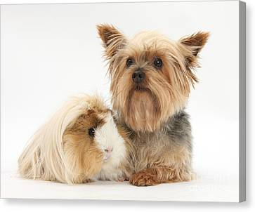 Yorkshire Terrier And Guinea Pig Canvas Print by Mark Taylor