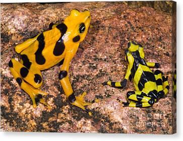 Harlequin Toad Canvas Print by Dante Fenolio